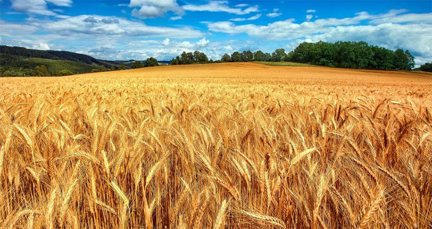Nemli Tahıl Teknolojisi